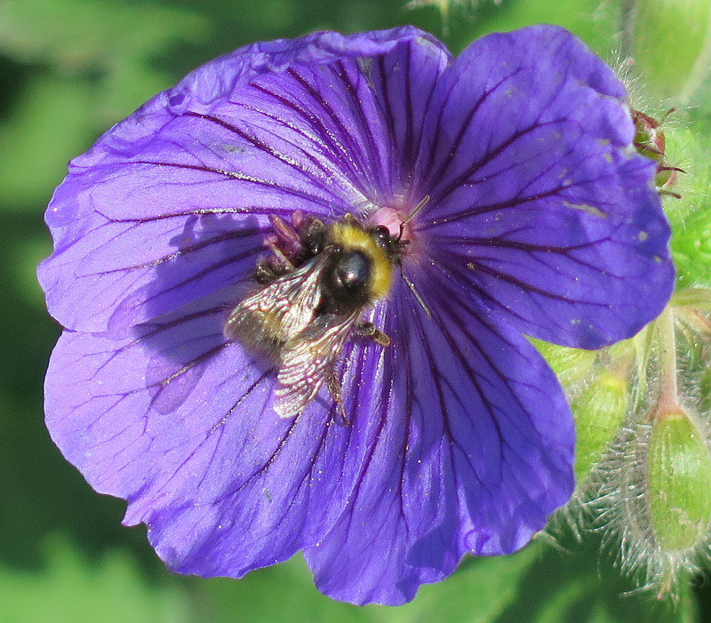 Photo of a wild bee on a cranesbill flower