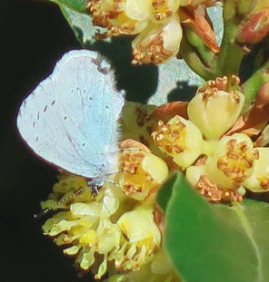 Holly Blue butterfly on bay flowers